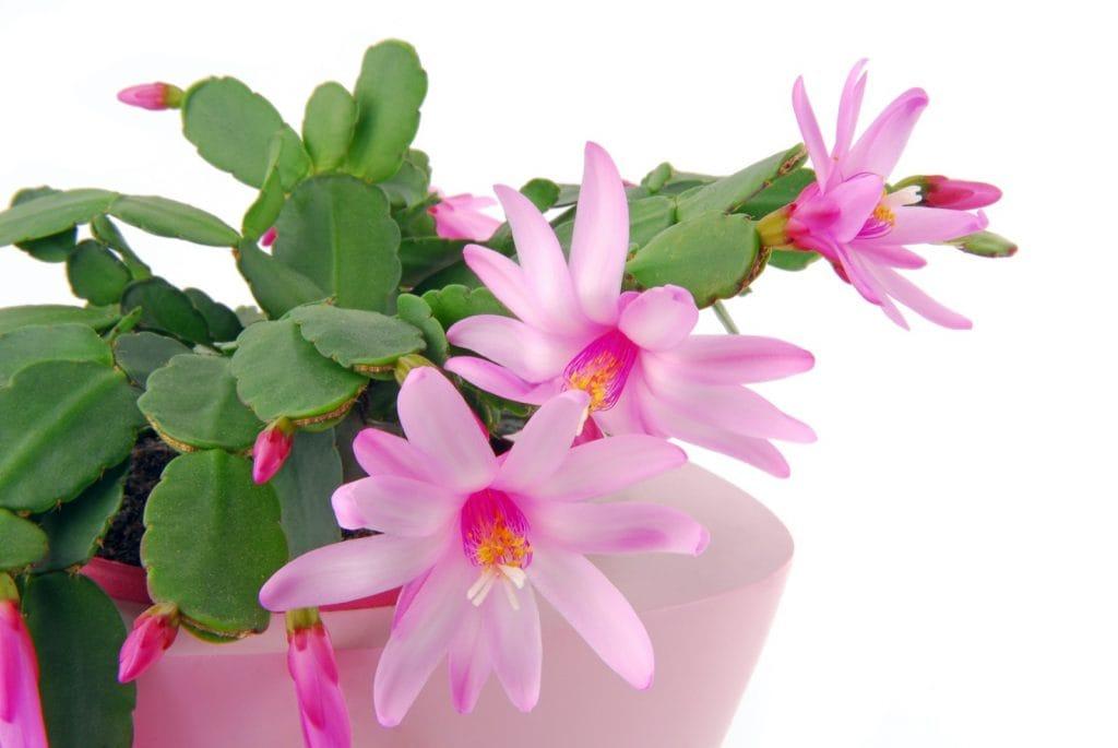 Easter Cactus aka Hatiora gaertneri