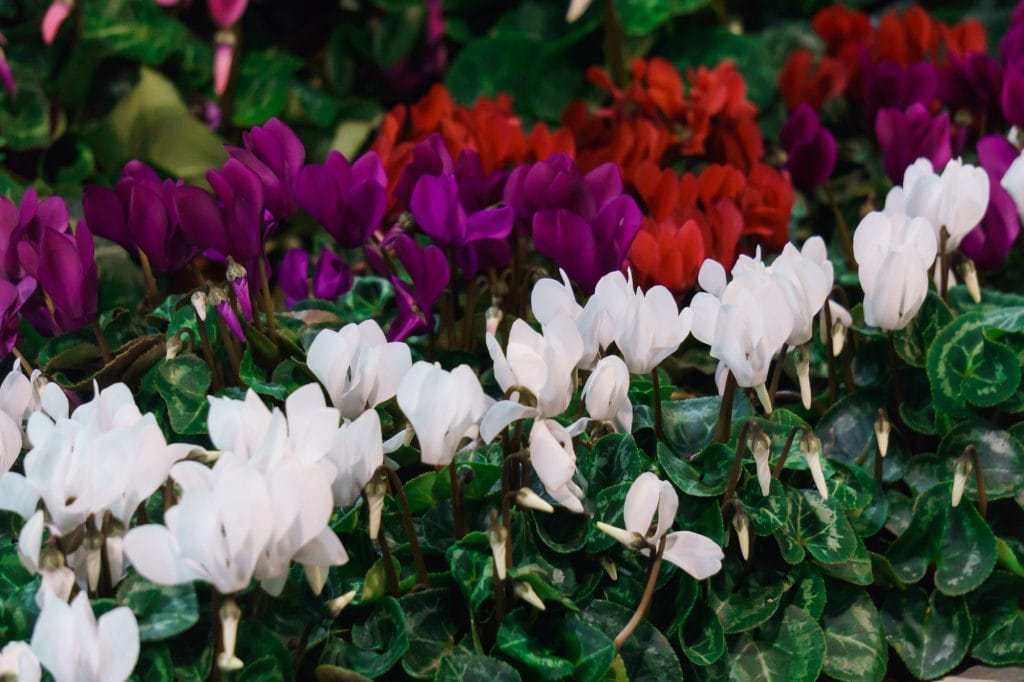 Multi-colored cyclamens of red, purple and white standing in a row.