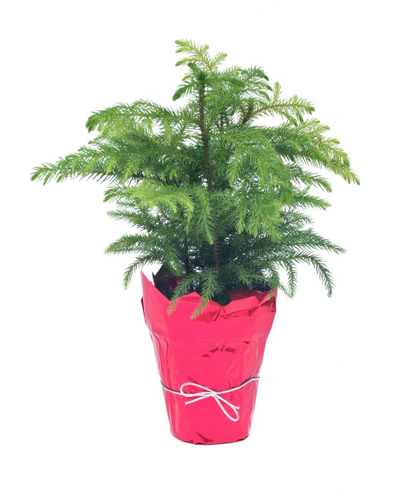Norfolk Island Pine in a pot with red cellophane.
