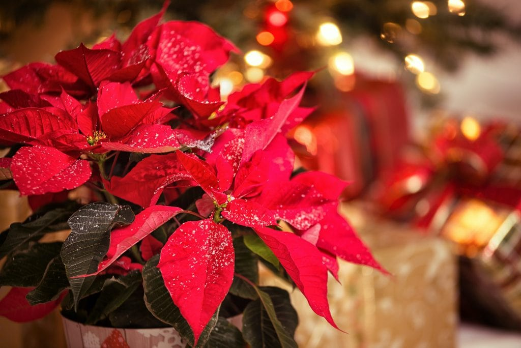 Red Poinsettia (Euphorbia pulcherrima), Christmas Star flower, with decorative snowflakes on the leaves. Festive red and golden Christmas background with tree lights and presents.