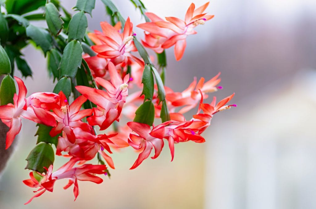 close up of Blooming houseplant Christmas cactus Schlumbergera.