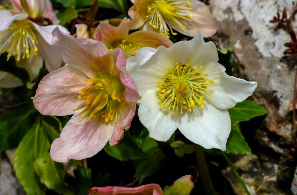 Helleborus niger also called Christmas rose, a white and a light pink.