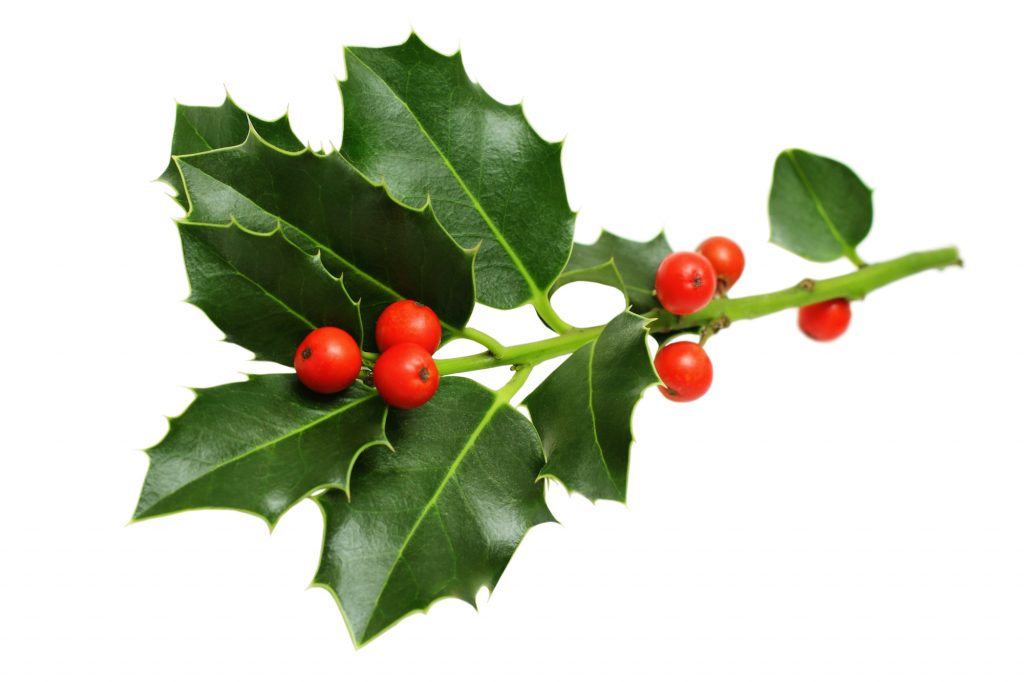 Christmas Holly Leaves and Berries on a white background.