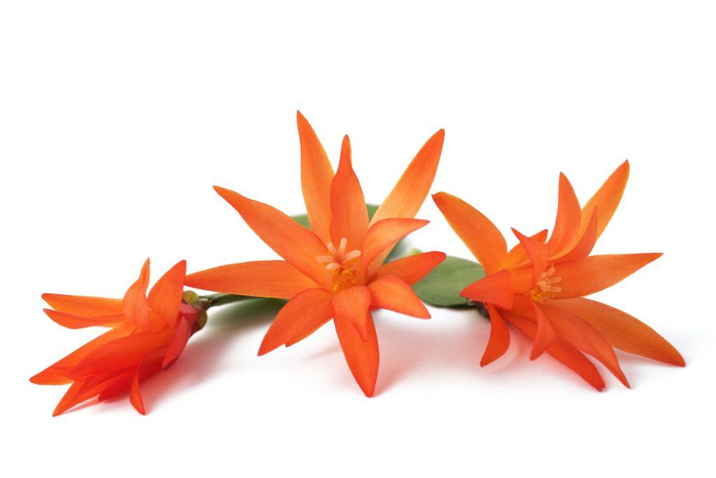 Orange Christmas cactus flowers on a white background