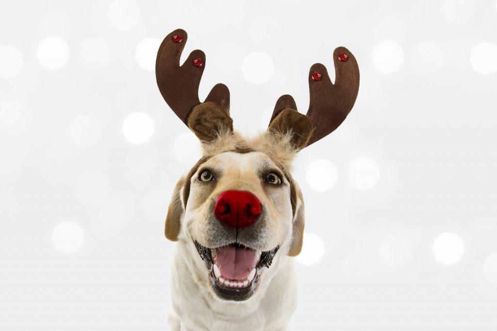 Happy smiling labrador dressed up as Rudolf the red nose reindeer