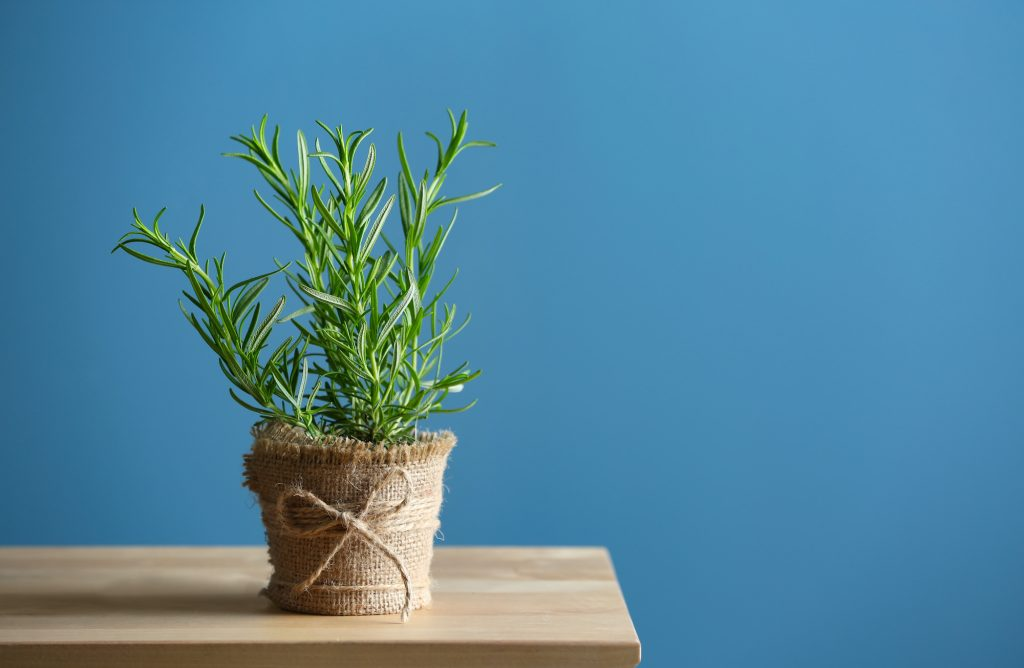 Pot with fresh rosemary on a wooden table against a blue color background.
