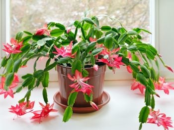 Types of Christmas Cactus Plants (Varieties and Colors)