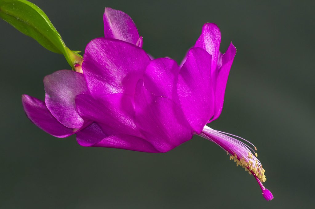 Close up of a beautiful violet-purple holiday cactus flower Schlumbergera