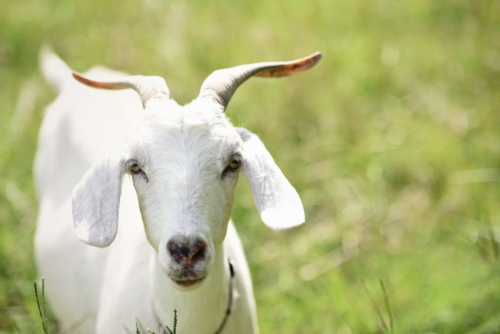 White goat on a green field.